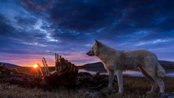 Kraljevstvo bijelog vuka